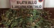 Malatya'da 281 Kök Haşhaş Ele Geçirildi